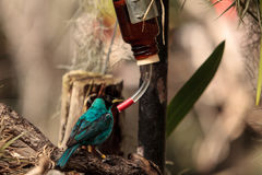 Green honeycreeper scientifically known as Chlorophanes spiza Stock Images