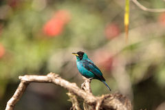 Green honeycreeper scientifically known as Chlorophanes spiza Stock Photos