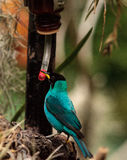 Green honeycreeper scientifically known as Chlorophanes spiza Royalty Free Stock Image