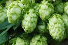 Green hop Stock Photo