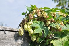 Green hop Royalty Free Stock Image