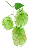 Green hop Stock Image