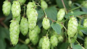 Green hop stock footage