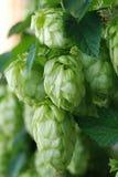 Green hop stock image