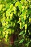 Green hop branches Stock Photos
