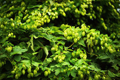 Green hop branches Stock Image