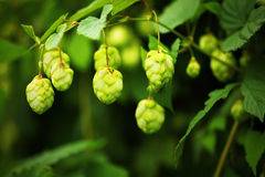 Green hop branches Stock Photography