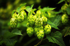 Green hop branches Royalty Free Stock Photography