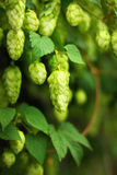 Green hop branches Royalty Free Stock Images