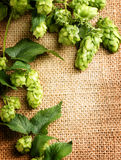 Green hop close up over burlap background. Hop plants with leaves Stock Photo