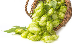 Green hop cones Stock Image
