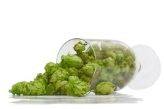 Green hop cones in a beer glass. On white background Stock Images