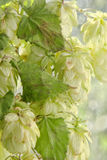 Green hop cones branch with leafs.Beer production. Royalty Free Stock Photo