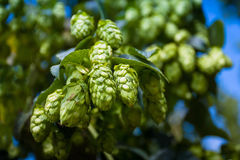 Green hop cones branch taken closeup. Beer production. Royalty Free Stock Photos
