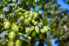 Green hop cones branch taken closeup. Beer production. Royalty Free Stock Image