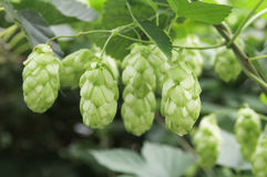 Green hop cones on branches. Close up Royalty Free Stock Photo