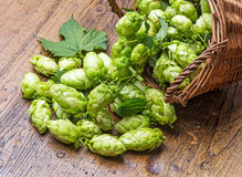 Green hop cones Stock Photo