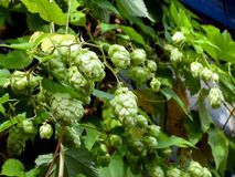 Green hop cones on the vine humulus. royalty free stock image