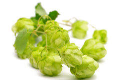 Green hop cones on a white background royalty free stock photos
