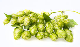 Green hop cones Royalty Free Stock Photography