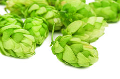 Green hop cones Royalty Free Stock Images