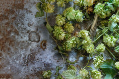 Green hop and ears of barley Royalty Free Stock Images