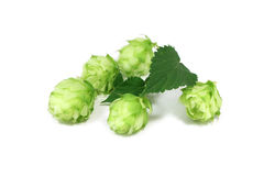 Green hop Stock Photography