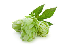 Green hop plant Stock Images