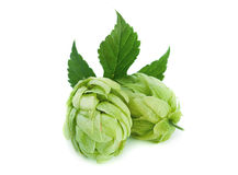 Green hop plant Stock Photos