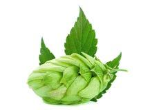 Green hop plant Stock Photos