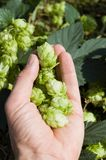 Green hops Royalty Free Stock Image