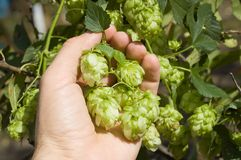 Green hops Stock Images