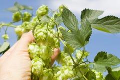 Green hops Stock Photo