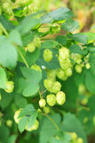 Green hops. In the garden Stock Images