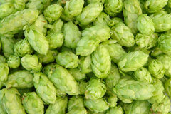 Green hops stock image