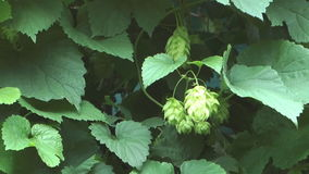 Green hops. stock video footage
