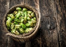 Green hops for beer in a wooden bucket. stock photography