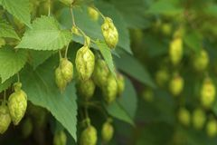 Green hops on a branch Royalty Free Stock Photo
