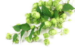 Green hops branch Royalty Free Stock Photo