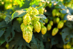 Green hops Stock Photography