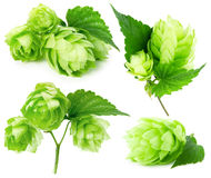 Green hops collection isolated on the white background Royalty Free Stock Photo