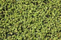 Green Hops. Fresh green Hops on Farmers Market Royalty Free Stock Photo