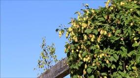 Green hops in a garden stock footage