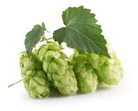 Green hops isolated on a white background Royalty Free Stock Image