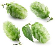 Green hops isolated on a white background stock photo