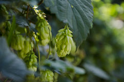 Green hops Stock Photos