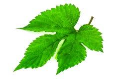 Green hops leaf Stock Images