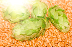 Green hops and malt, , agricultural background. Green hops lying on malt, wheat grain , ingredients to make beer and bread, agricultural background Royalty Free Stock Images