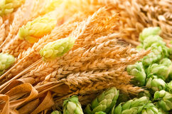 Green hops, malt, ears of barley and wheat grain. Ingredients to make beer and bread, agricultural background Royalty Free Stock Image