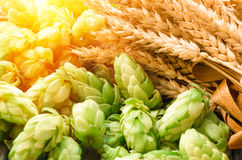 Green hops, malt, ears of barley and wheat grain. Ingredients to make beer and bread, agricultural background Royalty Free Stock Photo
